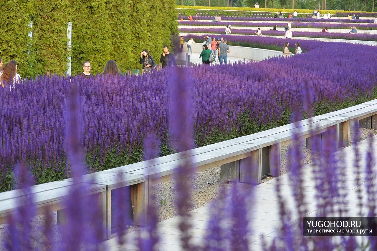 Цветение шалфея в парке Краснодар