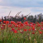Маковые поля Краснодара, Краснодарского края, Крыма
