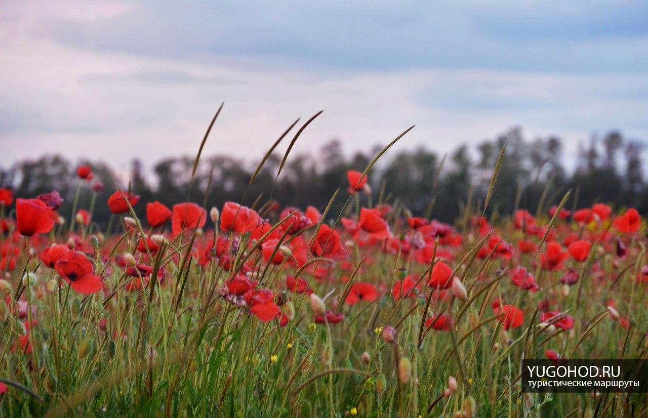 Маковое поле Краснодар