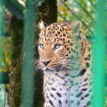 В гостях у переднеазиатского Леопарда Скифа